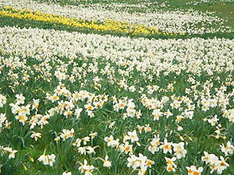 神鍋高原 水仙の花
