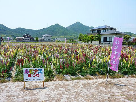 ルピナスの花・兵庫県