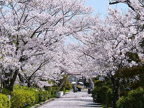 水の科学博物館の桜・花見