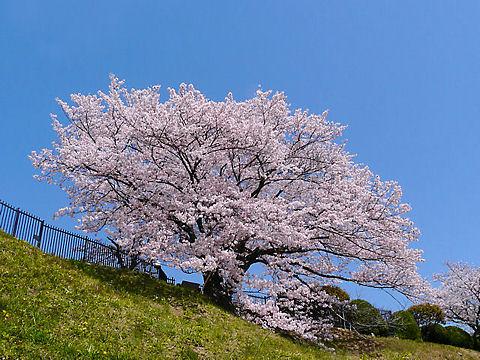 兵庫県一美しい桜 奥平野舞桜