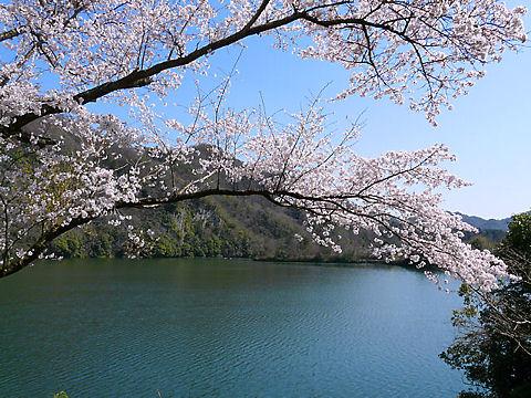 千苅さくらまつり・千苅ダムの桜、花見