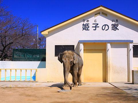 姫路市立動物園・ゾウの姫子