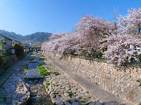 都賀川公園の桜
