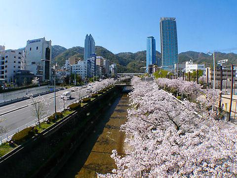 神戸市 生田川の桜並木・生田川公園の花見
