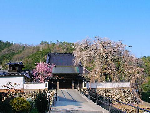佐用町 光福寺の大糸桜・播磨一本堂しだれ桜