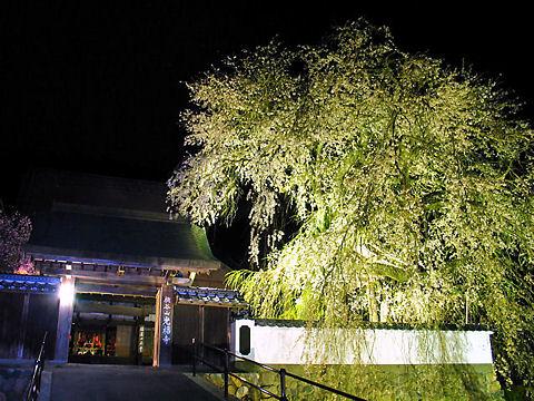 佐用町 光福寺の大糸桜のライトアップ・播磨一本堂しだれ桜夜桜