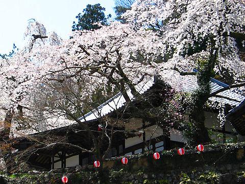 有馬温泉・善福寺枝垂れ桜