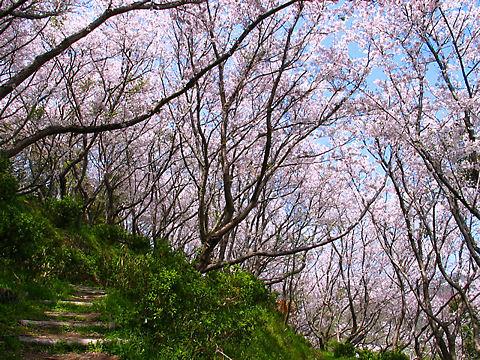 赤穂市 赤穂御崎・赤穂東御崎公園の桜、花見