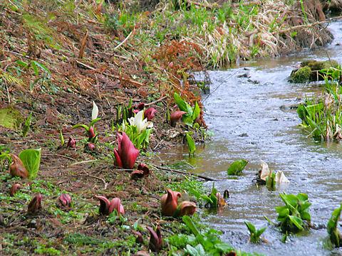 香美町 ザゼンソウの花とミズバショウの花 / ハチ北ザゼンソウ群生地 ・ 大山祇神社横ザゼンソウ群生地