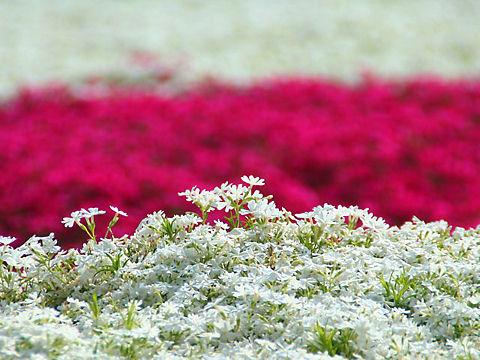 姫路市 ヤマサ蒲鉾芝桜の小道 / ヤマサ蒲鉾芝桜園