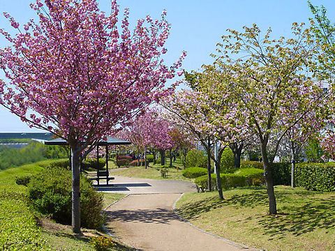 小野市 やなせ苑桜づつみ