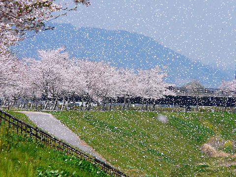 小野市 おの桜づつみ回廊の桜吹雪