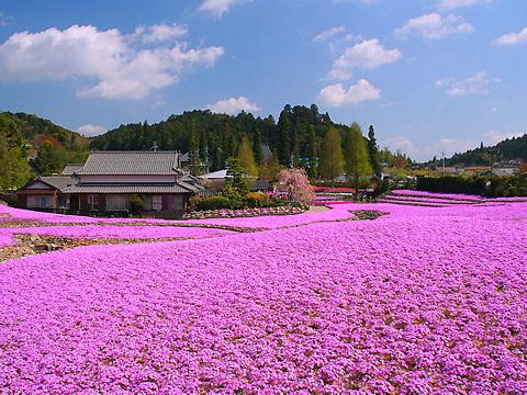 三田市 芝桜専門庭園・芝桜の花のじゅうたん