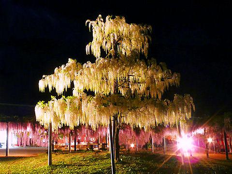 朝来市和田山町 白井大町藤公園のライトアップ