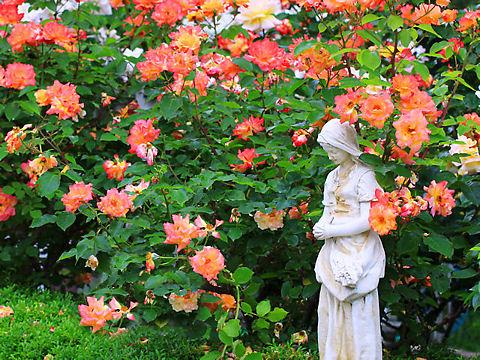 神戸市 須磨離宮公園 / アンネのバラ
