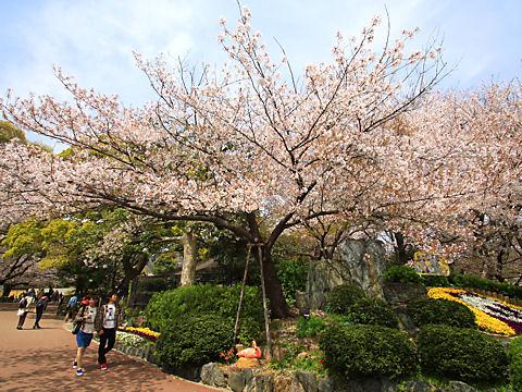 神戸の桜の標本木・王子動物園のソメイヨシノ