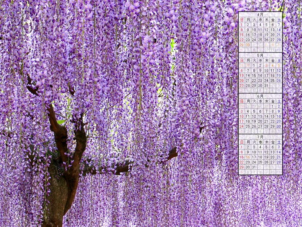 壁紙・藤の花/2007年無料壁紙カレンダー/2007年4月~2007年7月