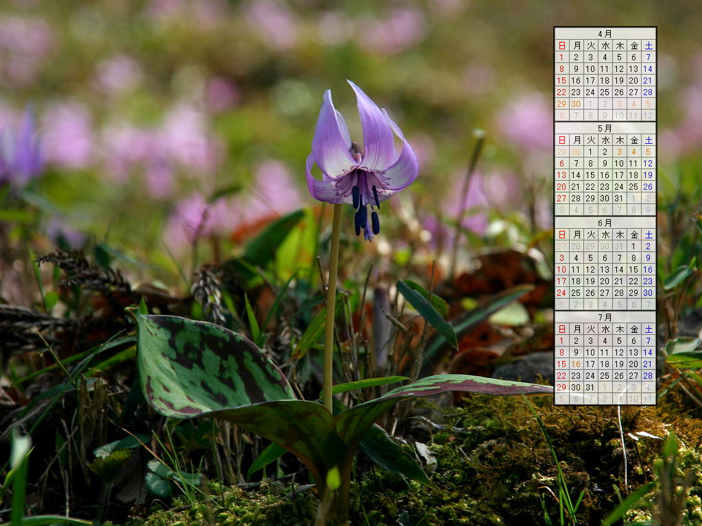 壁紙・片栗(カタクリ)の花/2007年無料壁紙カレンダー/2007年4月~2007年7月