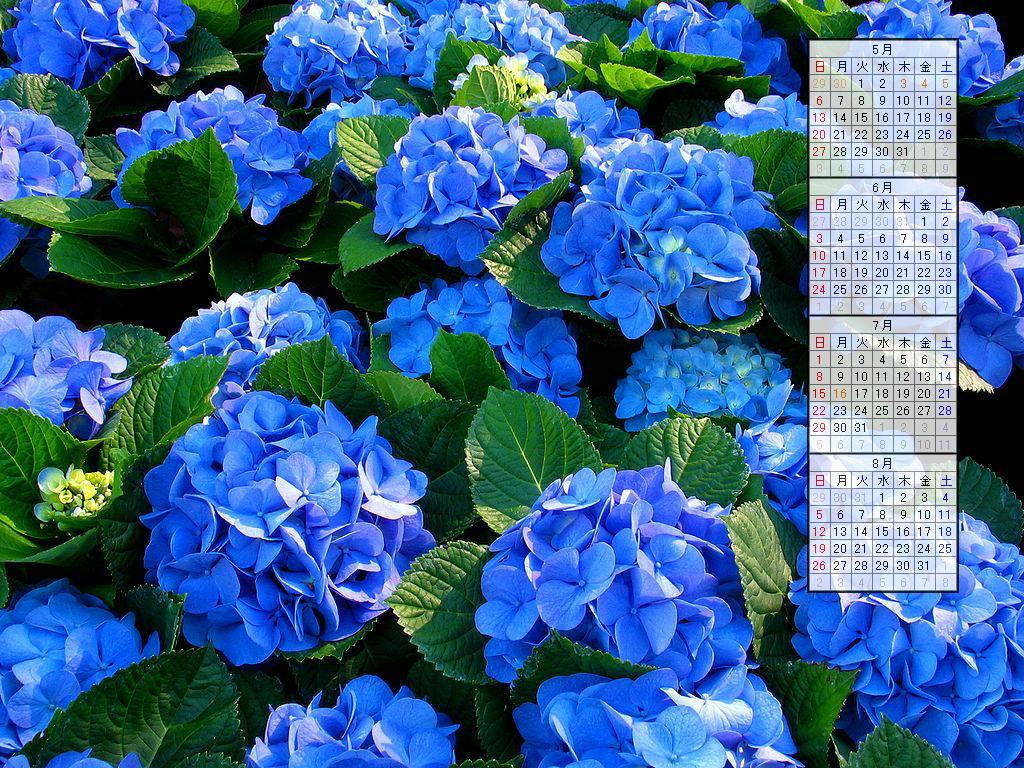 壁紙・紫陽花(アジサイ)の花/2007年無料壁紙カレンダー/2007年4月~2007年7月