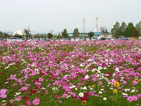 小野市 ひまわりの丘公園のコスモスの花畑