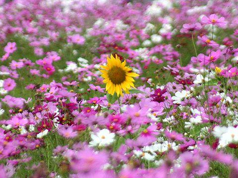 コスモスの花畑の中に咲くひまわりの花/ひまわりの丘公園