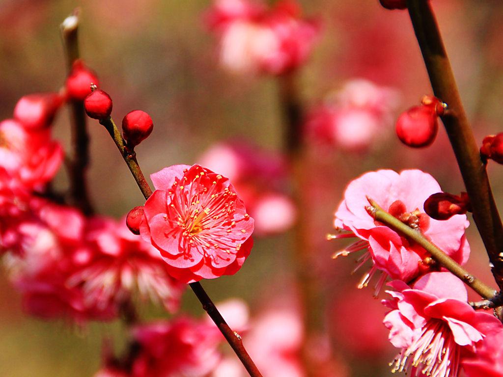 春の花 梅の花 花の無料壁紙写真 花の無料写真素材 四季の花の写真集