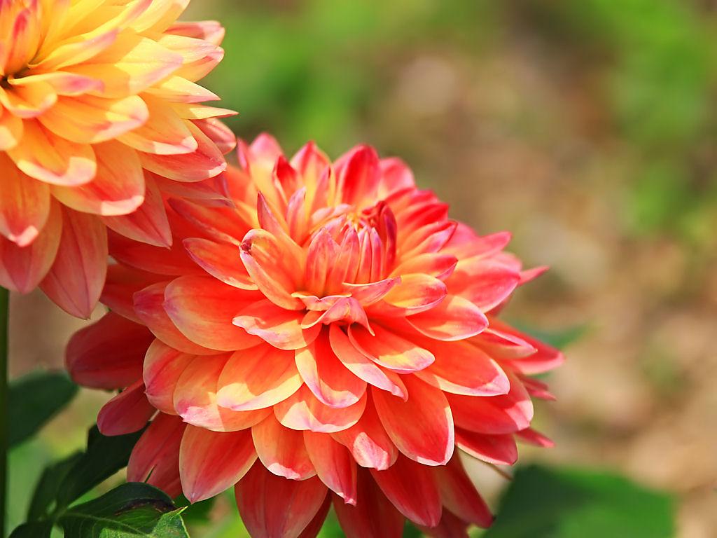 壁紙 ダリア Xga1024 768デスクトップ無料壁紙 花の無料壁紙写真 花