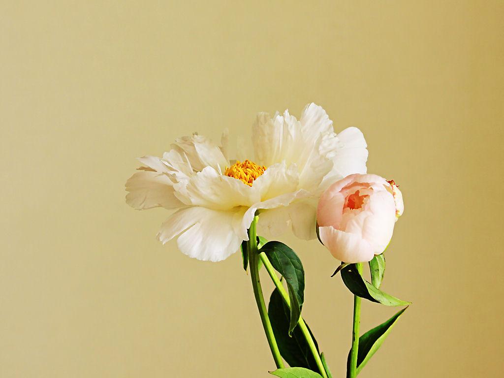 壁紙 芍薬 シャクヤク の花 Xga1024 768デスクトップ無料壁紙 兵庫