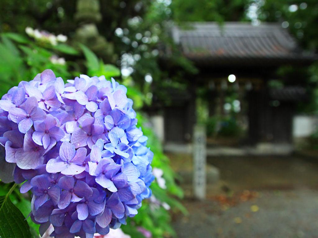 壁紙 あじさい 新宮八幡神社 Xga1024 768デスクトップ無料壁紙 兵庫
