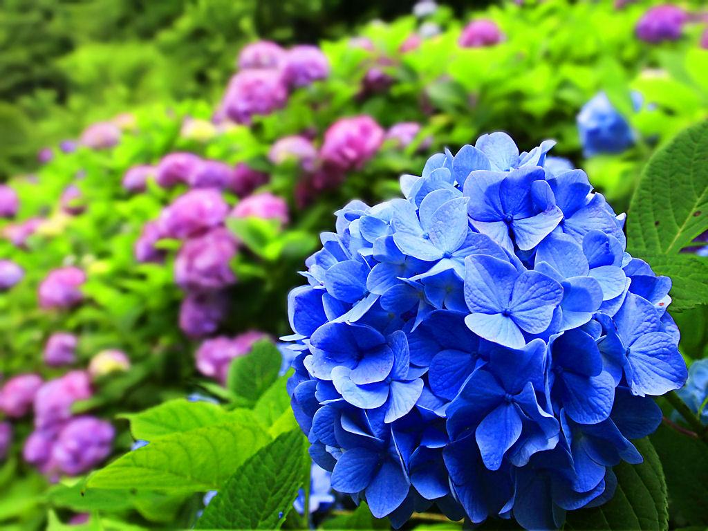 壁紙 あじさい 神戸市立森林植物園 Xga1024 768デスクトップ無料壁紙